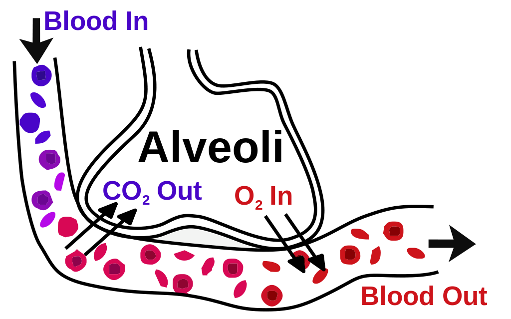 A diagram of Alveoli. The alveoli contract and retract due to help of a molecular protein called elastin. Sukuma Wiki is rich in vitamin K that is converted into elastin that aids with the breathing functions.