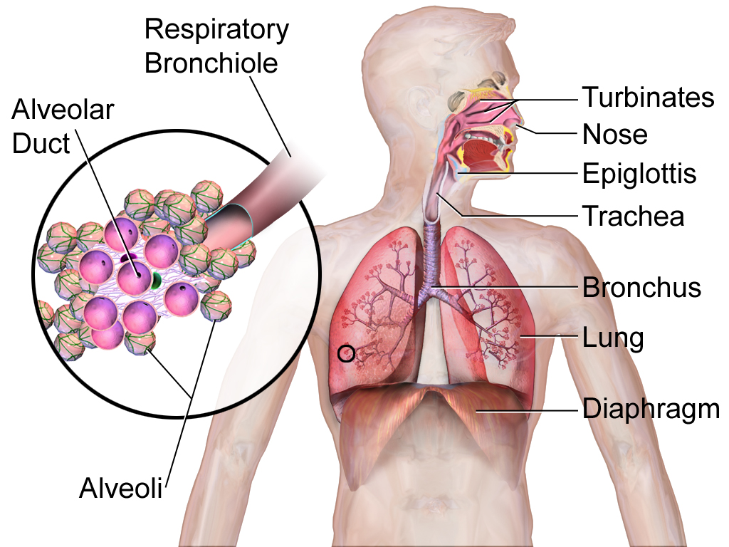 Respiratory System in Humans. Sukuma Wiki has the highest concentration of Vitamin K that helps with strengthening lung muscles to aid in breathing.